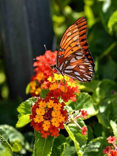 gulffritillarybutterfly gulffritillarybutterflyagraulisvanillae passionbutterfly butterflies butterfliesandmothsoftexas insects nature nikonphotography