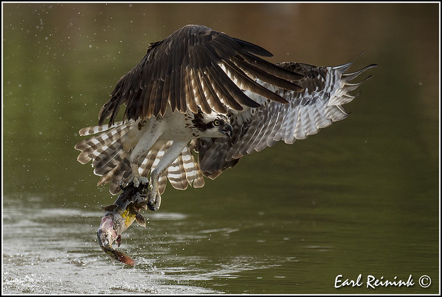 Osprey grabbing da cat