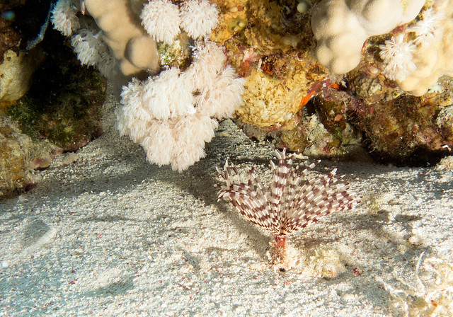 Feather Duster Worm, Sabellidae, Ras Mohammad, Red Sea