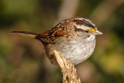 birds us pennsylvania content places sparrow wren folder takenby whitethroatedsparrow carolinawren chestercounty 2015 peterscamera petersphotos canon7d 20151220chestercountybirds 201512dec