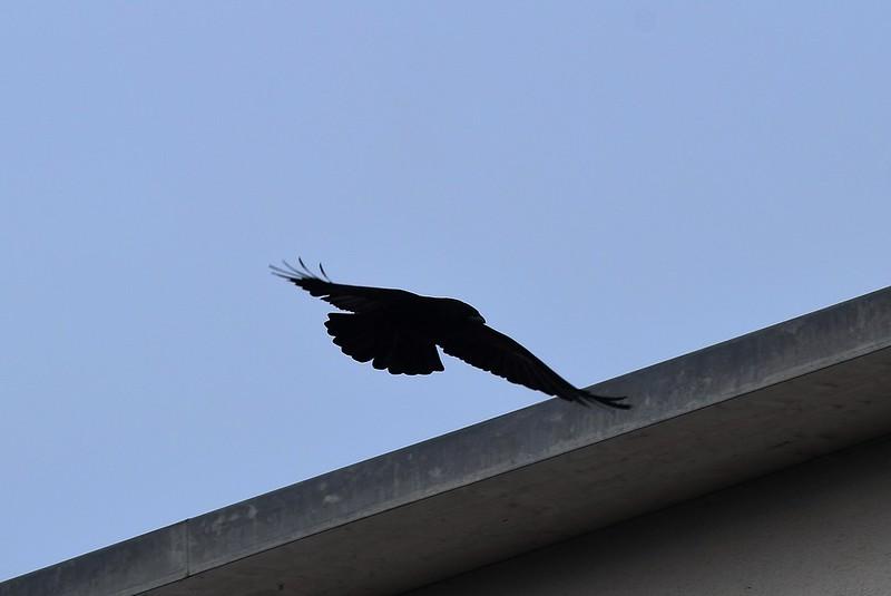 Crow 13.11 (12)