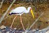 Yellow-Billed Stork (Mycteria ibis) by sharon.verkuilen