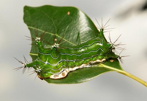 "Stinging Nettle Slug Caterpillar (Cup Moth, Limacodidae) ""Green Marauder"""