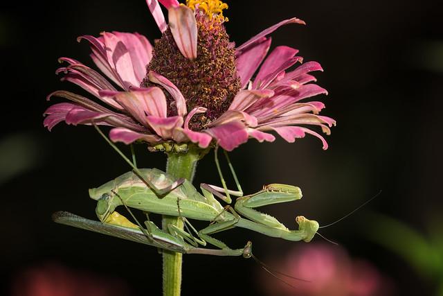 Praying Mantis Mating