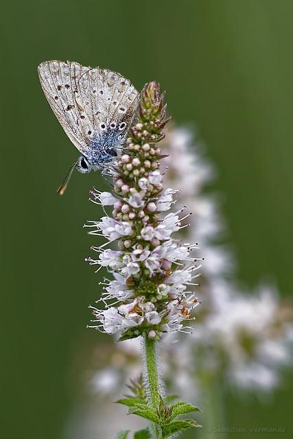 Papillon azuré sur fleur de menthe