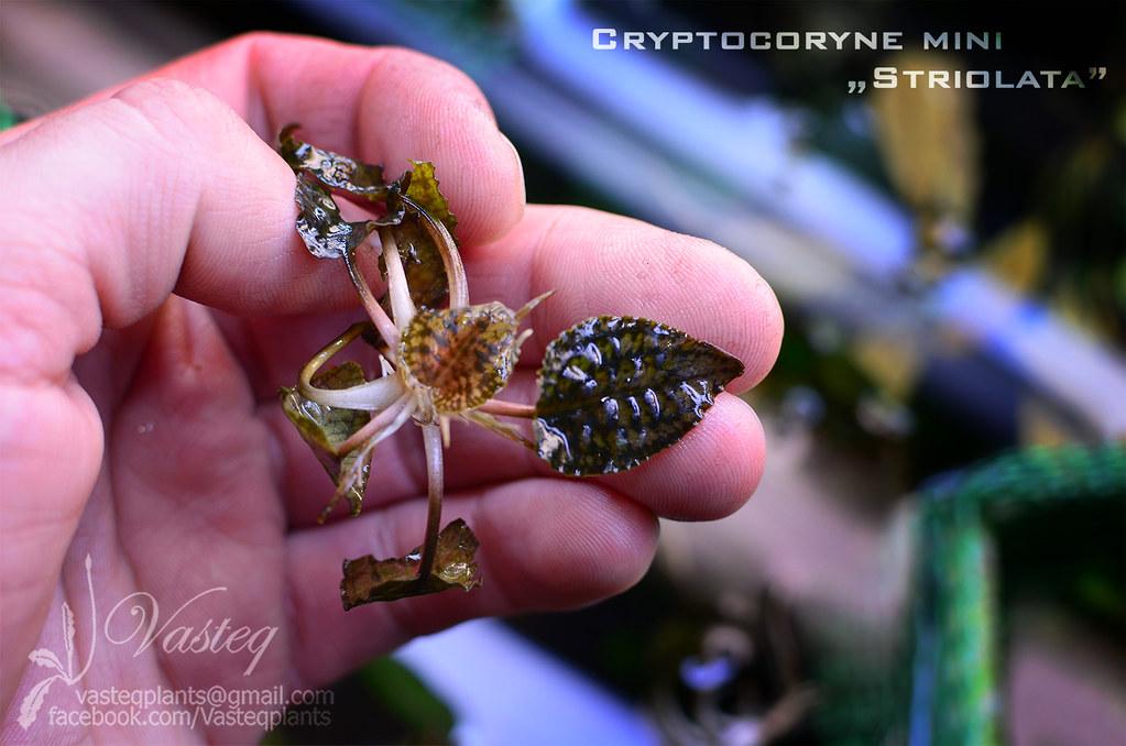 Cryptocoryne mini