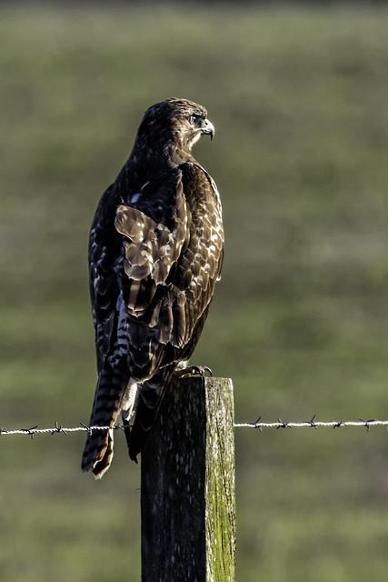 Hawk on Post #17
