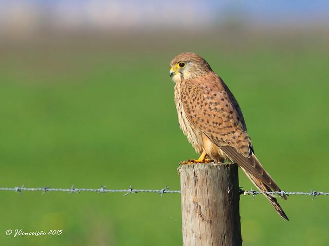 Peneireiro vulgar - Falco tinnunculus - Common kestrel
