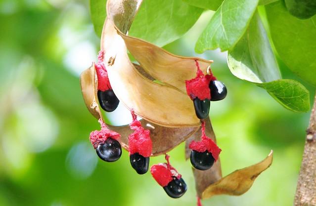 Pithecellobium unguis-cati seeds 7085
