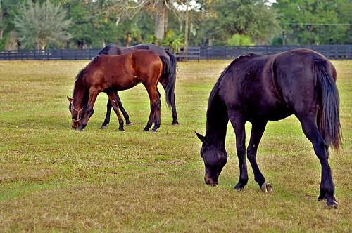 horses field grass florida pasture ocala