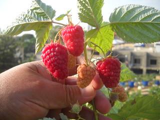 Raspberry early fruiting Jun n2, 2015 | by toutberryfarms