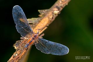 Derbid planthopper (Derbidae) - DSC_4176