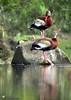 Black-bellied Whistling-Duck by Daniel Mclaren .:. Naturalist Guide CR