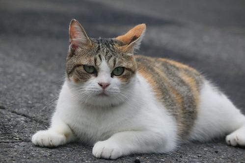 IMG_5332 Calico Japanese cat 縞三毛猫