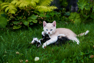 Kittens playing | by marcus.osterberg