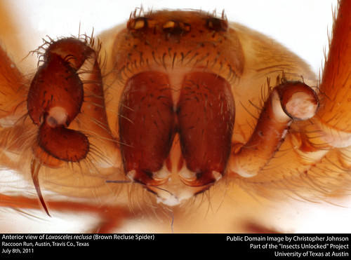 Anterior view of Loxosceles reclusa (Brown Recluse Spider) | by insectsunlocked