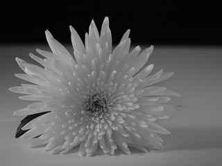 Chrysanthemum BW