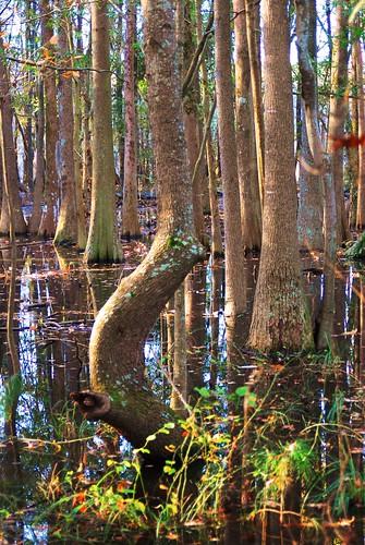 tree shapely tupelo