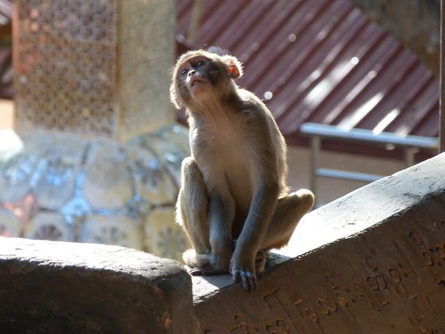 Macaco en el Monte Popa de Myanmar
