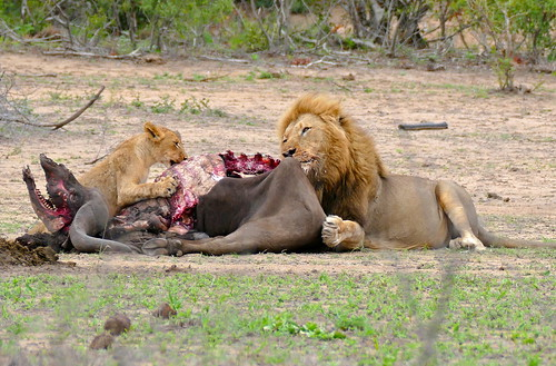Lions (Panthera leo) male and cub sharing the remains of a buffalo ... | by berniedup
