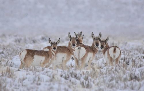 Pronghorns in snowstorm on Seedskadee National Wildlife Refuge