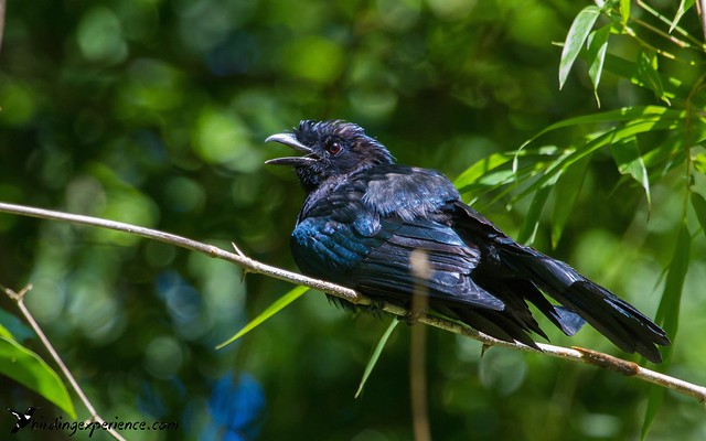 Greater Racket-tailed Drongo (juvenile)