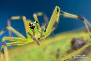 Jumping spider (Lyssomanes sp.) - DSC_3606