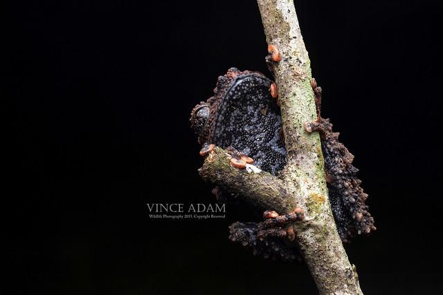 IMG_8516-0(W) Underbelly of the Malaya bug-eyed frog (Theloderma leporosum) Boulenger, 1884