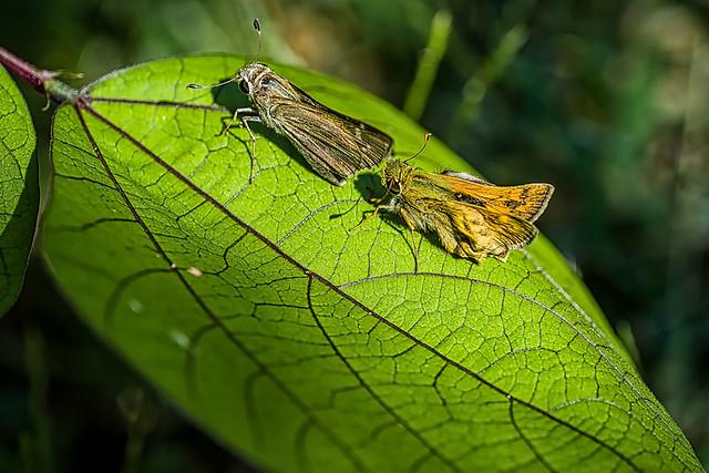 garden visitors (common branded skipper Hesperia comma)