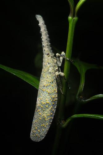 Tropical Lantern Bug | by antonsrkn