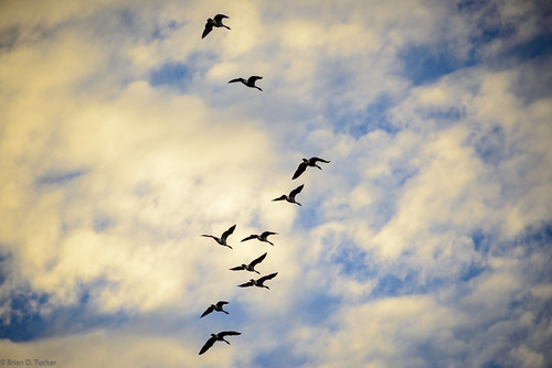 autumn wild canada fall clouds geese october conservation greenwood goose canadagoose wildgeese 2015 d610 greenwoodconservationarea briandtucker october2015
