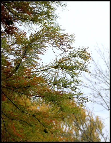 Taxodium distichum - cyprès chauve, cyprès de Louisiane  22605164725_aa541b70c7