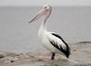 Australian Pelican (Pelecanus conspicillatus) by George Wilkinson