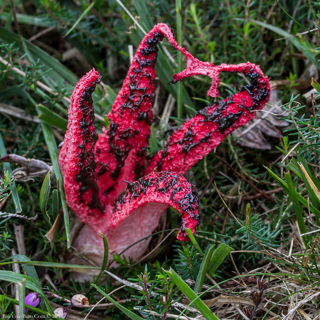 Devil's Fingers Fungus (Clathrus archeri) also known as Octopus Stinkhorn