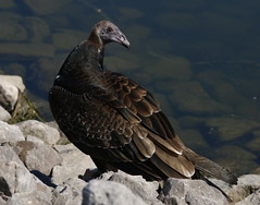juv. Turkey Vulture