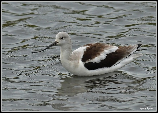 American Avocet in Winter Plumage