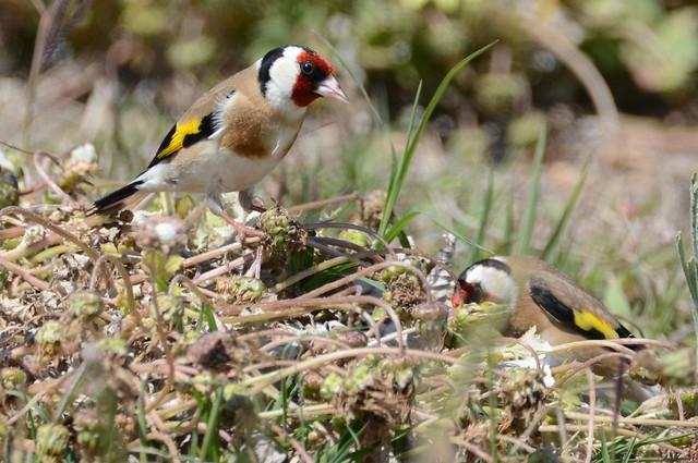 European Goldfinch in Australia