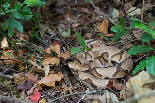 Southern Copperhead. Southeast Louisiana, October 2016 | by rman2013