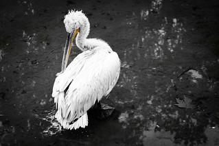 Dalmatian pelican | by Markus Moning