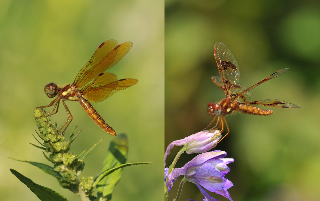 Male and female eastern amberwing dragonflies on flowers.