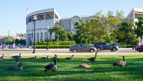 Geese across from OSU Stadium