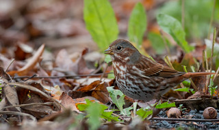 Fox Sparrow | by uropsalis