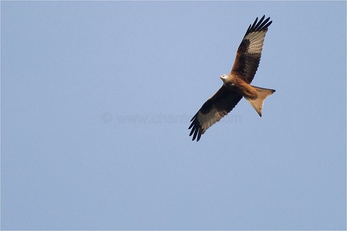 Milan royal - Milvus milvus - Red Kite | by ChantCarr