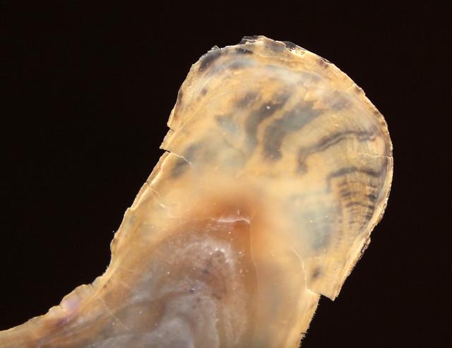 Finger oyster (Vulsella vulsella) shell under side close up