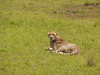 Cheetah Resting before the Chase !