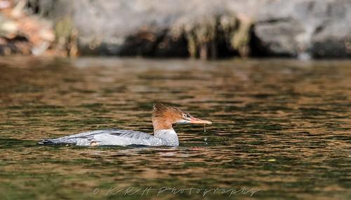 Common Merganser | by kevinhaw335