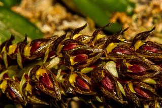 Bulbophyllum careyanum | by Markus Branse