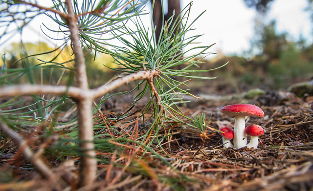 The Sickener (Russula emetica)