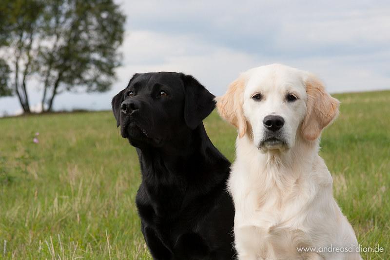 Black Labrador Lotte and Golden Retriever Puppy Ellie | Flickr