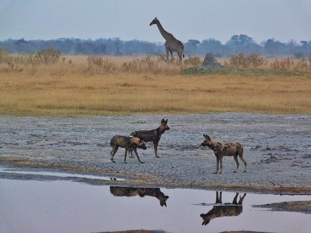 Licaones y jirafa en la Reserva de Moremi (Botswana)